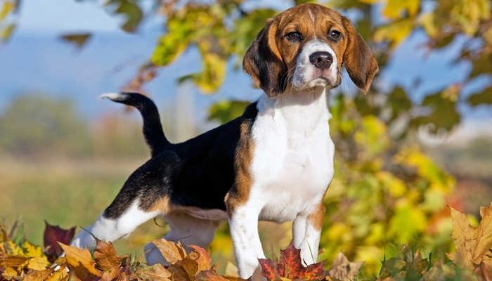 Best Companion Dog For Beagle